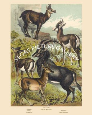 Chamois, Springbox, Gazelle, Pronghorn, Sable Antelope